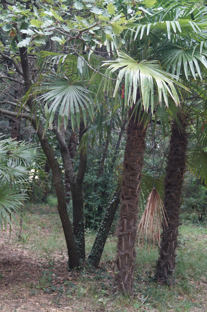 These woolly palms can withstand winter temperatures