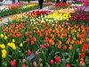 18_tulips-at-keukenhof-gardens-1