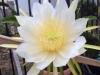 dragonfruitflower