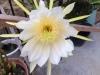 dragonfruitflower2