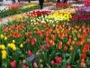 18_tulips-at-keukenhof-gardens-1